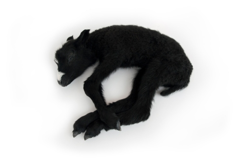 KUN OLIMME KUOLEMATTOMIA - WHEN WE WERE IMMORTALS Kuolleena syntynyt karitsa, hengitys koneisto Lamb born dead, breathing mechanism 30 x 35 x 12cm 2013 (2014)